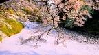 感動的に美しい幻想的な花吹雪の絶景・福島県鶴ヶ城