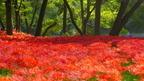真紅の花が美しい日本一の曼珠沙華群落地「巾着田」