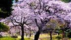 東京の満開の枝垂れ桜の絶景