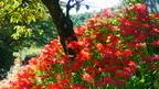 ヒガンバナの自生地で「ヒガンバナの里」として知られ、秋の収穫の時を迎えた田のあぜや野辺のあちこちに咲き誇る。