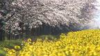 日本の桜名所 秋田県 八郎潟の菜の花と桜 ~ 桜・お花見特集