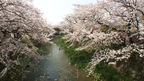 日本の桜名所 愛知県 桜百選 五条川堤 ~ 桜・お花見特集