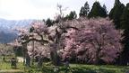 日本の桜名所 山形県 置賜さくら回廊 ~ 桜・お花見特集