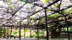 北海道最古の藤「天神藤」が満開見頃!! @北海道札幌市 Sapporo TENJIN wisteria, Hokkaido