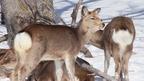 ひなたぼっこする冬の知床のエゾシカの群れ @北海道斜里町(知床) Shiretoko Deers(Winter), Hokkaido
