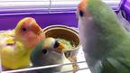 Papa Bird Diary -  もこ、餌をあげるタイミングがわからない。